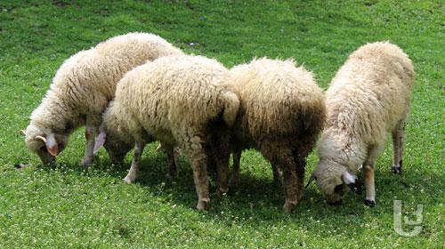 იორდანიიდან დაავადებული ცხვარი შემოიყვანეს- მოსახლეობა დახმარებას ითხოვს