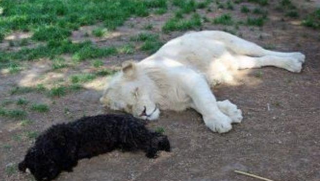 ლომის ბოკვერი შუმბა ტყვიით მკვდარი იპოვნეს